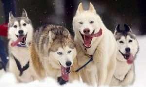 Lapland holiday | Husky safari