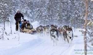 Enjoy husky safari in Lapland