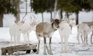 Reindeer ride in Rovaniemi Lapland