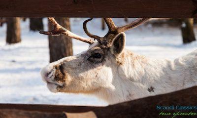 Reindeer farm in Lapland