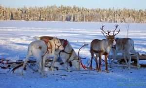 Reindeers safari in Lapland