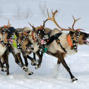 Reindeer ride in Finland