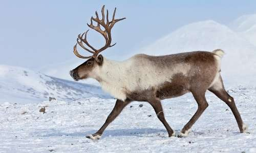 2 years ago 264 - Pictures Of Reindeer