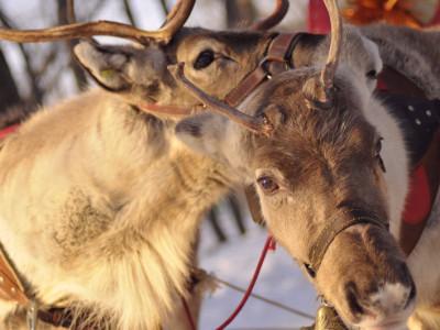 Try reindeer sleigh ride in Lapland