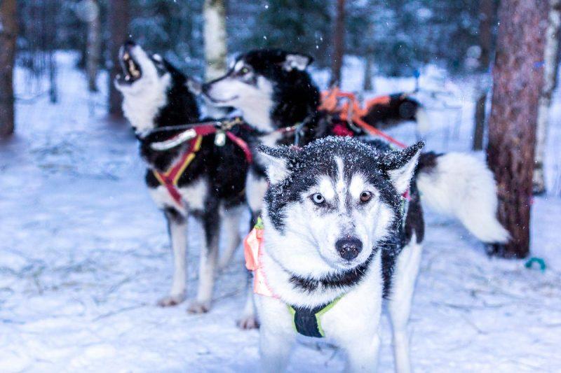 Dog Sled Ride Rovaniemi